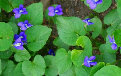 Wild violets thrive beneath the oaks